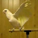 Parrot dancing dreiva